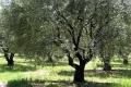 Hercegovački maslinari zadovoljni obilnom berbom
