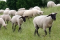 Cijepljenje protiv bruceloze bez rezultata - sve više oboljelih životinja i ljudi