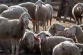 Vlasnicima koji ne ispitaju životinje na brucelozu kazna i do 87.000 maraka