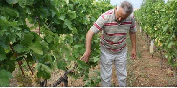 u vinogradu